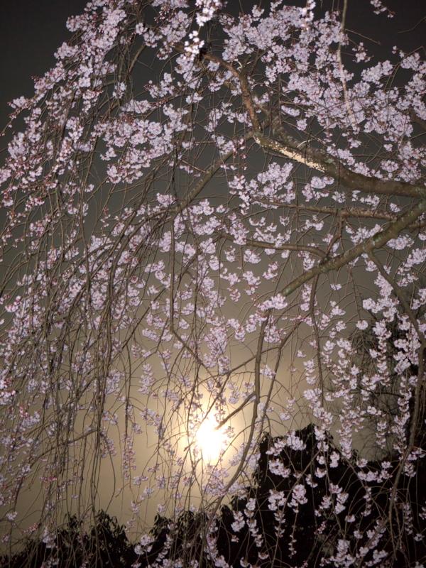 京都新聞写真コンテスト 朧月夜の枝垂桜
