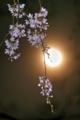 京都新聞写真コンテスト 月夜桜