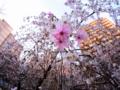 京都新聞写真コンテスト ビルの谷間の御幸桜