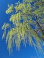 京都新聞写真コンテスト 蒼天から降り注ぐ新緑