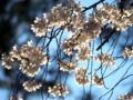 京都新聞写真コンテスト 輝きの桜花