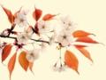 京都新聞写真コンテスト 山桜の色