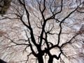 京都新聞写真コンテスト 桜の天蓋