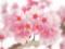 「おかめ桜」35回ルミックスマンスリーチャレンジ銅賞