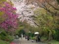京都新聞写真コンテスト 木蓮と桜の競演