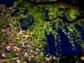 京都新聞写真コンテスト ライトに浮かぶ新緑と桜