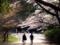 京都新聞写真コンテスト 春光に向かって