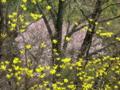 京都新聞写真コンテスト 新緑と桜雪洞