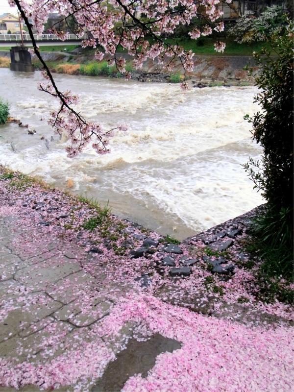 京都新聞写真コンテスト 心短き春の山風