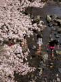 京都新聞写真コンテスト 桜の下で川遊び