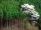 京都新聞写真コンテスト 桜咲く北山杉の里