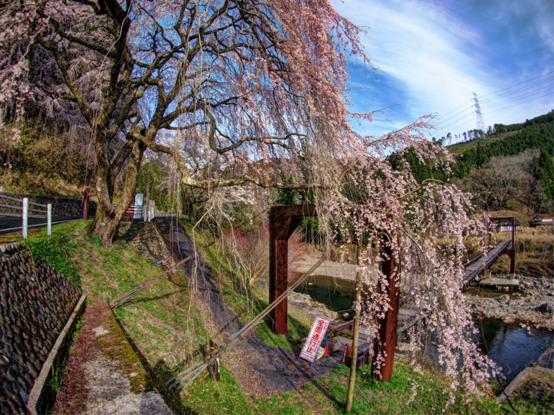 京都新聞写真コンテスト 魚ヶ渕の吊橋と枝垂桜