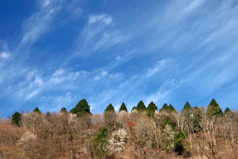 京都新聞写真コンテスト タムシバ咲く山の春