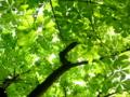 京都新聞写真コンテスト トチの新緑