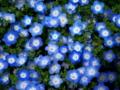 京都新聞写真コンテスト 蛍光ブルーの花花花