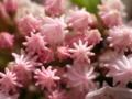 京都新聞写真コンテスト ピンクの金平糖?