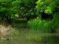 京都新聞写真コンテスト 黄菖蒲咲く半木の森