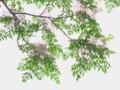 京都新聞写真コンテスト 栴檀咲く