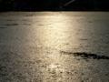 京都新聞写真コンテスト 照り映えるジュンサイの水面