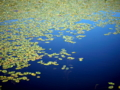 京都新聞写真コンテスト 深泥池のジュンサイ
