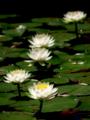 京都新聞写真コンテスト 神苑に咲く