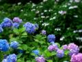 京都新聞写真コンテスト アジサイ苑
