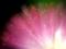 京都新聞写真コンテスト ピンクの小宇宙