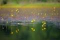 京都新聞写真コンテスト タヌキモ咲く深泥池