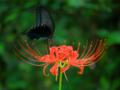 赤花と黒蝶