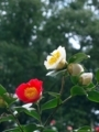 椿@京都府立植物園