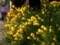 黄色のラッパ@京都府立植物園