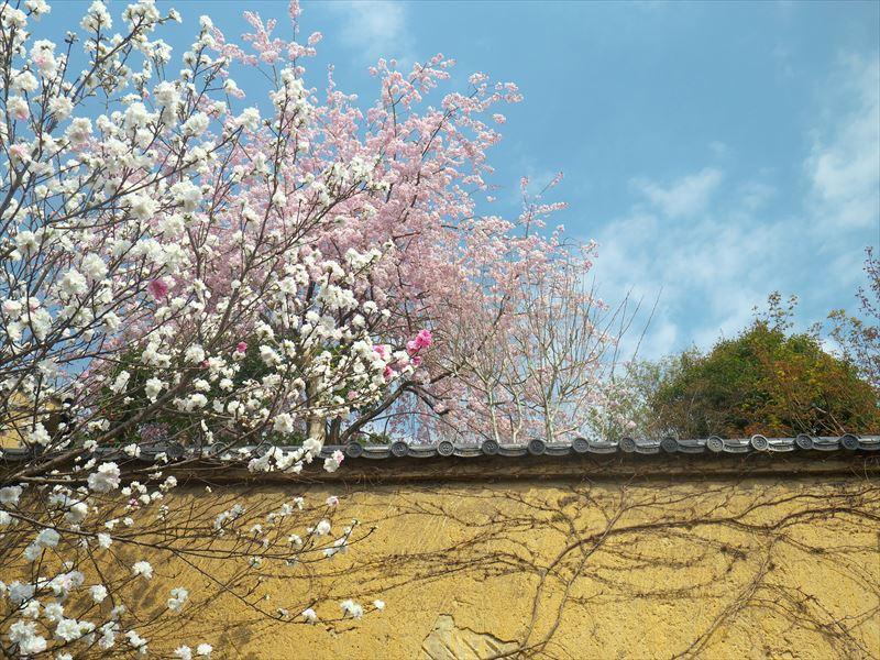 桃と桜@一乗寺