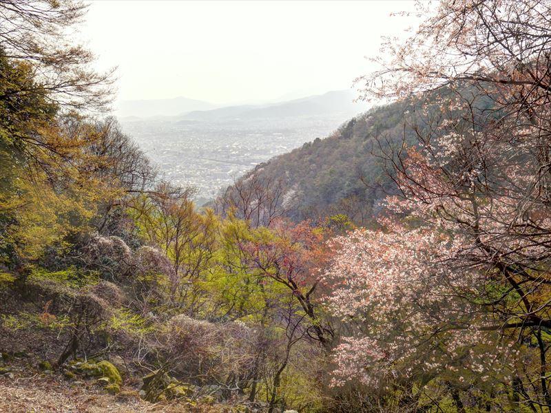 山桜@音羽川