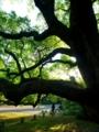 京都御苑のクスノキ