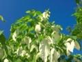 ハンカチの木@京都府立植物園
