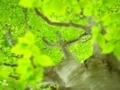 ブナの新緑@滝谷山