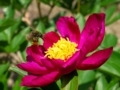 蜂に牡丹@京都府立植物園