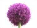 紫の球体@京都府立植物園にて