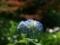 紫陽花@京都府立植物園