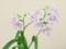 ウチョウラン@京都府立植物園