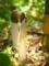 キヌガサタケ@京都府立植物園
