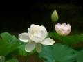 蓮@京都府立植物園