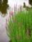 エゾミソハギ@京都府立植物園