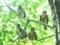 「アオバズク一家」47回京都新聞写真コンテスト佳作