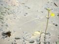 カエルの花見@深泥池