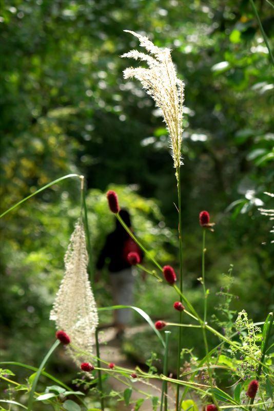 秋の植物園ー吾亦紅と薄