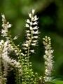 秋の植物園ーシモバシラの花