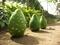 秋の植物園ー緑の爆弾(ヒョタン)