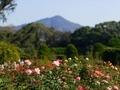 バラ園(比叡山を望む)@京都府立植物園