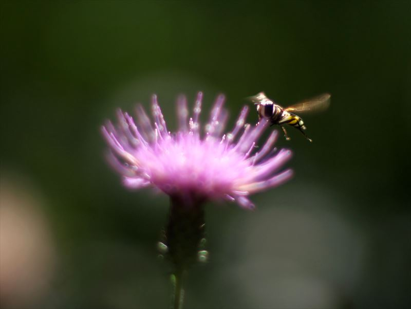 ぶんぶんぶん蜂が飛ぶ@京都府立植物園
